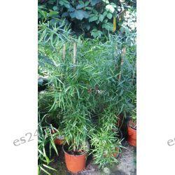 Asparagus Sierpowaty Rośliny pokojowe