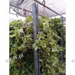 Okazaly Bluszcz Hedera  Rośliny