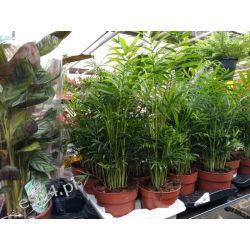 Ladna Areca Rośliny