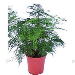 Asparagus Plumosus Rośliny