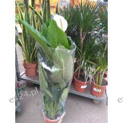 Duzy Skrzydlokwiat Rośliny