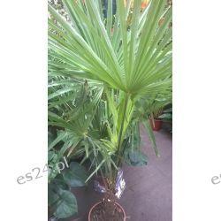 Palma Mrozoodporna – (Trachycarpus Fortunei) Rośliny