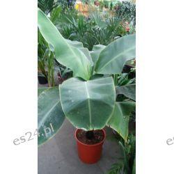 Duzy Bananowiec- Banan 160 cm Rośliny