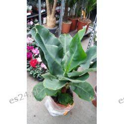 Duzy Bananowiec- 100 cm Rośliny