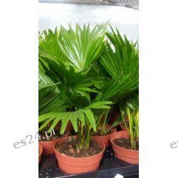Palma Liwistona Rośliny