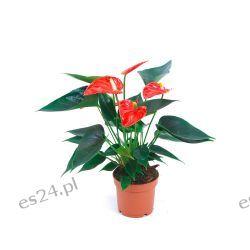 Anturium czerwone Rośliny