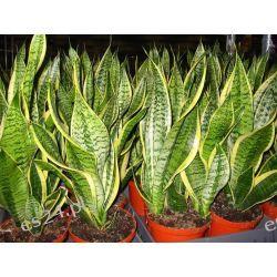 Sanseviera Rośliny