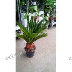 Duży Cykas wygięty, Sagowiec- Cycas revoluta Rośliny