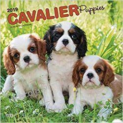 Kalendarz Cavalier King Charles Spaniel Puppies 2019 Calendar