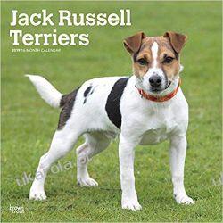 Kalendarz Jack Russell Terriers 2019 Square Wall Calendar