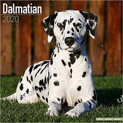 Kalendarz Dalmatian Calendar 2020 dalmatyńczyki Książki i Komiksy
