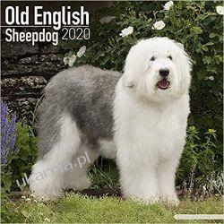 Kalendarz Old English Sheepdog Calendar 2020 owczarki Książki i Komiksy