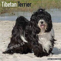 Kalendarz Tibetan Terrier Calendar 2020 30x30 cm Książki i Komiksy