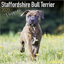 Kalendarz Staffordshire Bull Terrier Puppies Calendar 2020 30x30 cm Książki i Komiksy