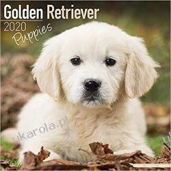 Kalendarz Golden Retriever Puppies Calendar 2020 30x30 cm Książki i Komiksy