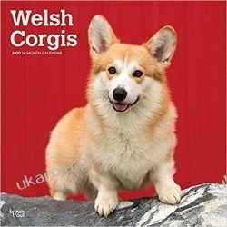 Welsh Corgis 2020 Square Wall Calendar Książki i Komiksy