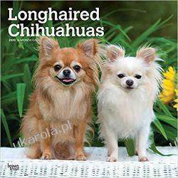 Kalendarz Chihuahuas Longhaired 2020 Square Wall Calendar
