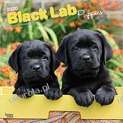 Kalendarz Labrador Retriever Puppies, Black 2020 Square Wall Calendar
