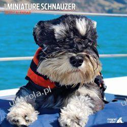 Kalendarz Sznaucer Miniatorowy Miniature Schnauzer Traditional 2020 Calendar  Pozostałe