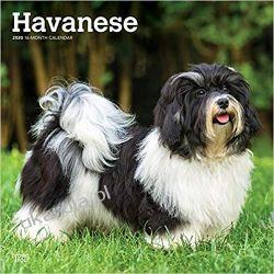 Kalendarz Hawańczyki Havanese 2020 Square Wall Calendar