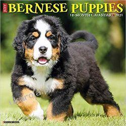 Kalendarz Szczenięta Berneńskie Psy Pasterskie Just Bernese Mountain Puppies 2021 Wall Calendar Pozostałe