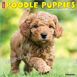 Kalendarz Pudle szczenięta Just Poodle Puppies 2021 Wall Calendar Książki i Komiksy