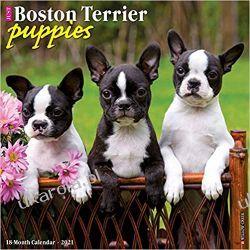 Kalendarz Just Boston Terrier Puppies 2021 Calendar Książki i Komiksy
