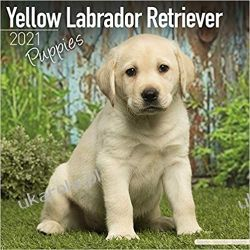 Kalendarz Labradory Szczenięta Yellow Labrador Retriever Puppies 2021